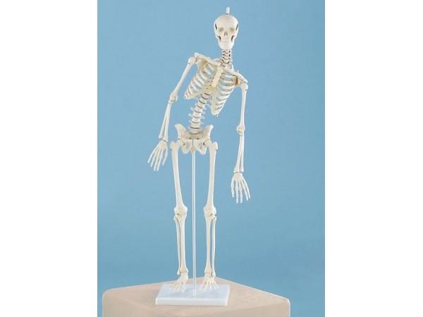 Skeletten: Flexibel 80cm skelet