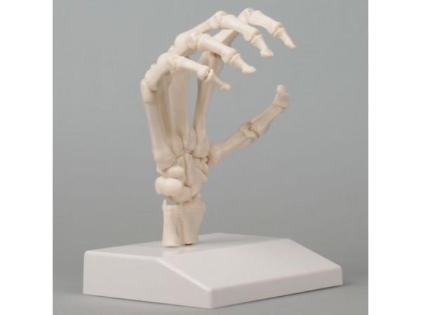 Handskelet met beweegbare vingers