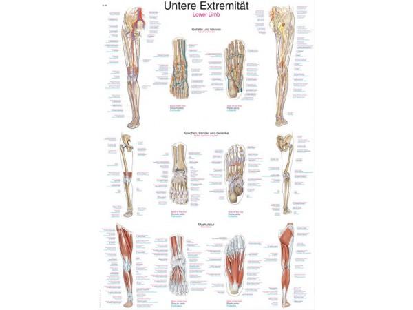 "Wandplaat ""Untere Extremität-Lower Limb"", 70x100cm"
