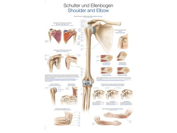 """wandplaat """"Schulter und Ellenbogen - Shoulder and Elbow"""""""