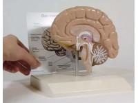 Hersenhelft