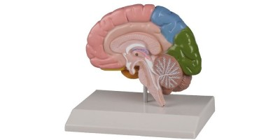 Hersenhelft, gekleurd