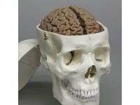 Hersenmodel, geavanceerd.