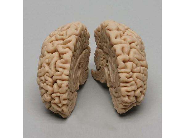 Hersenmodel, geavanceerd