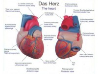 Hartmodel met infokaart