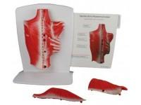 Rugspieren, 4 delig, verkleind model
