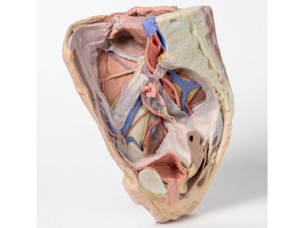 Vrouwelijk rechter bekkenhelft. Oppervlakkige en diepe structuren. 3D-print.