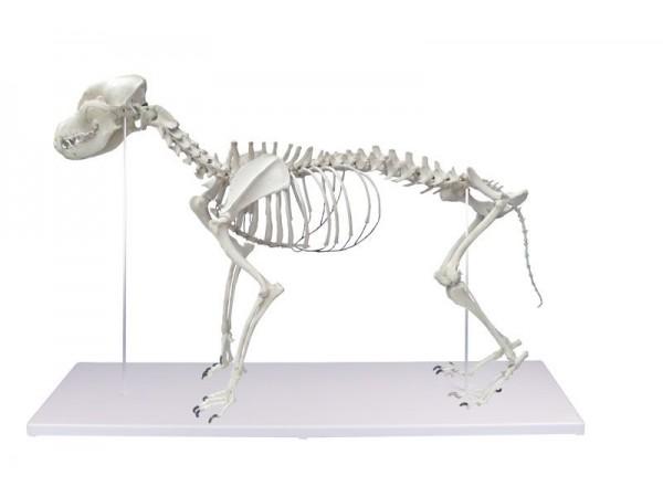 Hondenskelet, kunststof