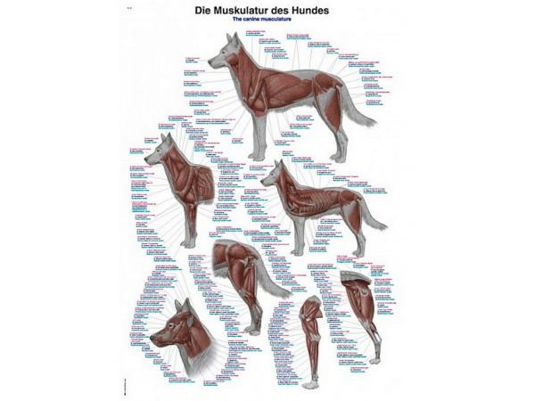 Spierstelsel Hond, kunststof wandplaat