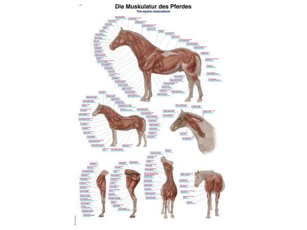 Spierstelsel Paard, kunststof wandplaat