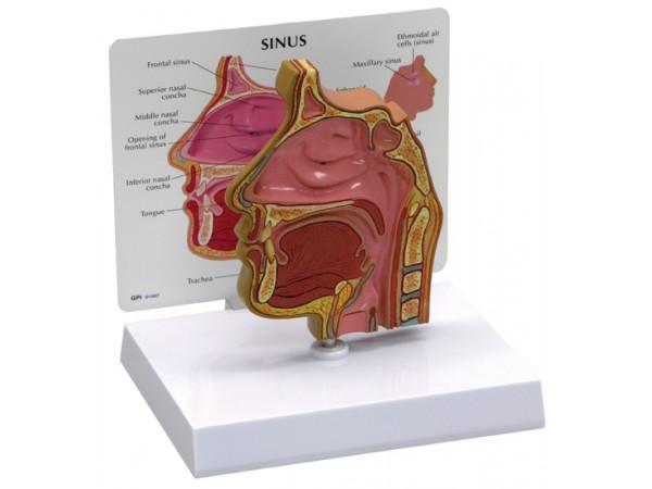 Sinus (schedelholte)