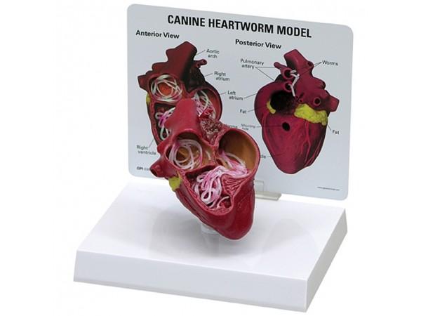Hart hond, met hartworm