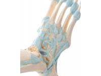 voetskelet met ligamenten