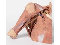 Rechter borstwand, oksel, nek-basis, 3Dprint