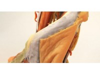 Vrouwelijk bekken en abdomen, 3D Print