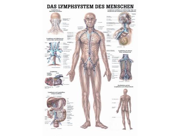 Poster Das Lymphsystem des Menschen Gelamineerd