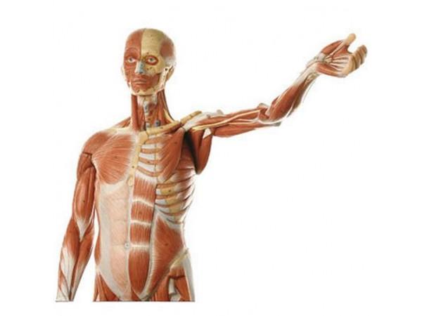 anatomische spiermodel, man