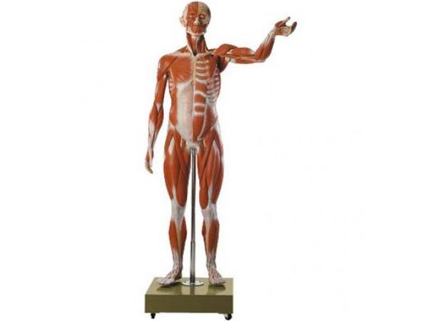 Mannelijk Spieren Figuur, SOMSO