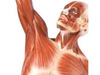 mannelijk spieren model, SOMSO