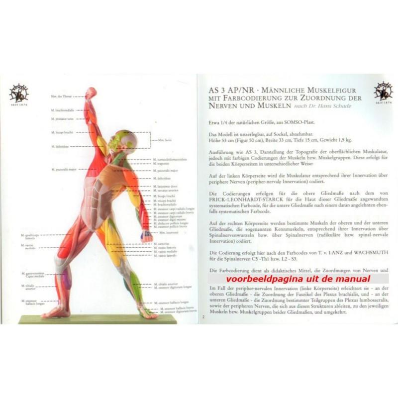 anatomisch spierenmodel met motorische innervatie