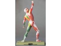 Spieren model met motorische innervatie