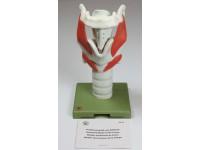 Functioneel Strottenhoofd model