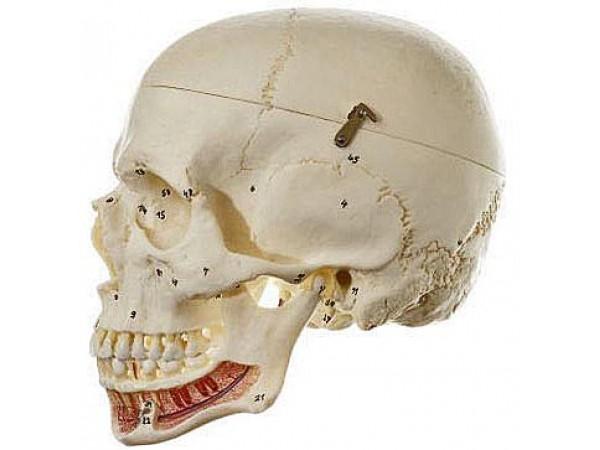 Schedels: genummerde schedel Somso