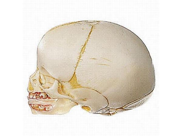 Natuurgetrouwe schedel van pasgeborene