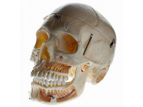 Schedels: geavaceerde demonstratie schedel Somso
