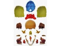 18-delige didactische schedel Somso