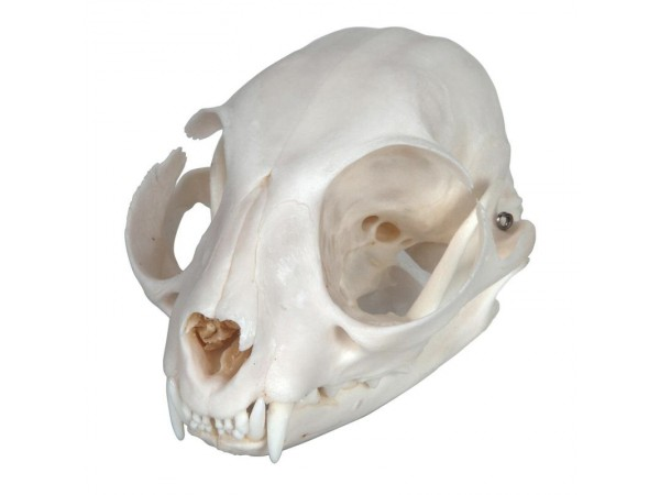 Kattenschedel
