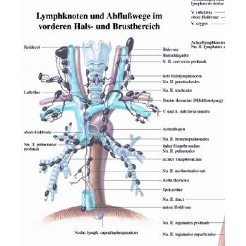 Fein Lymphknoten Anatomie Zeitgenössisch - Anatomie Von Menschlichen ...