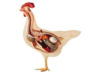 Kip (hen) model