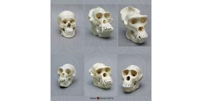 Primaten Schedel Set (6 stuks)
