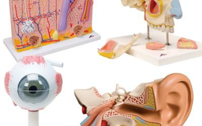 Anatomie Modellen Sets