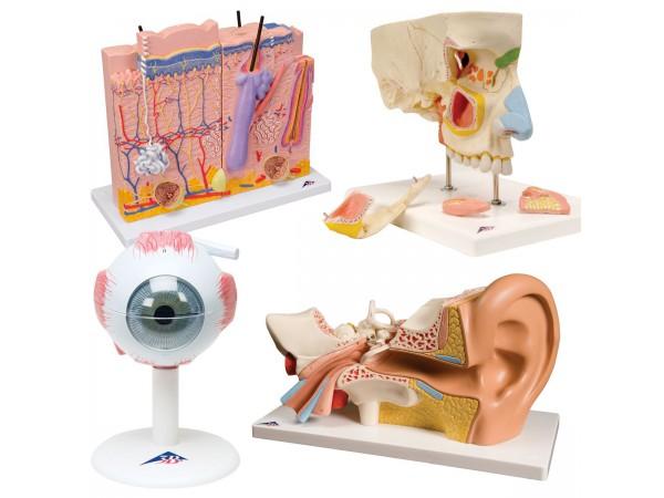 Anatomie Zintuigen Set