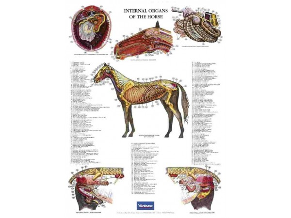 Poster Internal Organs of the Horse