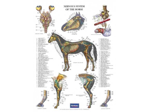 Poster Nervous System of the Horse