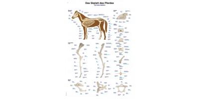 Skelet Paard Poster