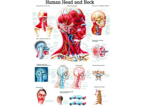 Anatomie Poster Hoofd en Nek Gelamineerd