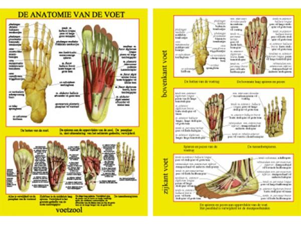 Anatomie van de Voet A4 Kaart Nederlands