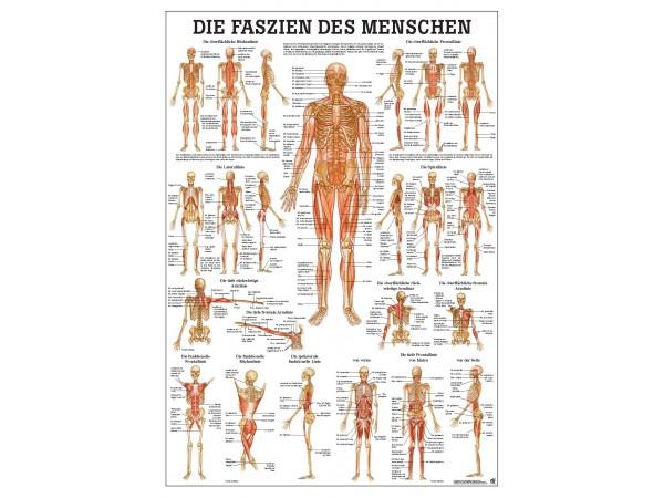 Bindweefsel (Fascie) Poster, 70 x 100 cm, gelamineerd