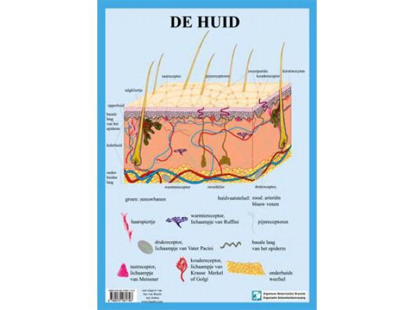 Anatomie Huid A3 Kaart Nederlands