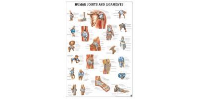 Gewrichten en Ligamenten Poster Gelamineerd