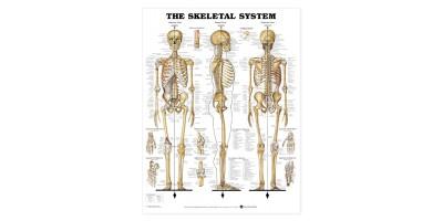 Grote Poster Skeletstelsel 106 x 157,5 cm