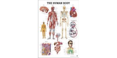 Het Menselijk Lichaam Poster Papier