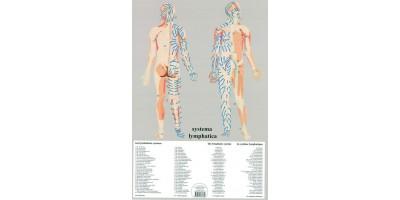 Lymfatisch Systeem Poster A2 Nederlands