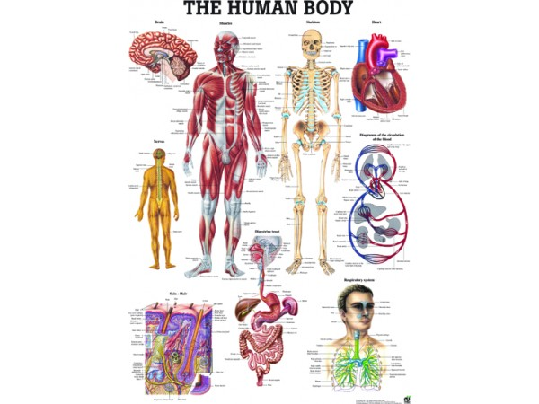 Het Menselijk Lichaam Poster Gelamineerd