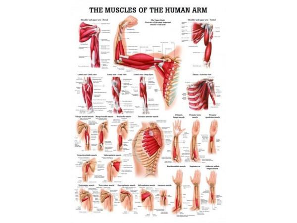 Spieren Poster Arm