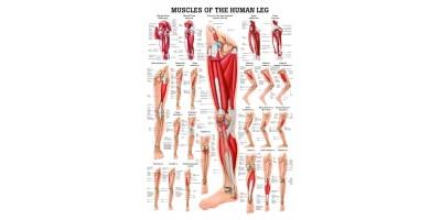 Spieren Poster Been